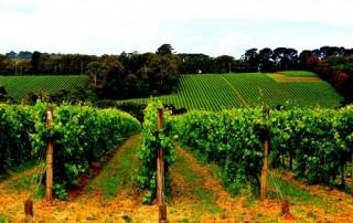 Barossa Valley - Vineyard